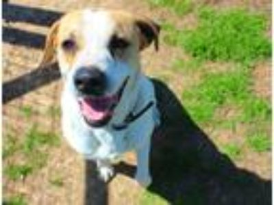 Adopt Bella a White - with Red, Golden, Orange or Chestnut Boxer / Mixed dog in