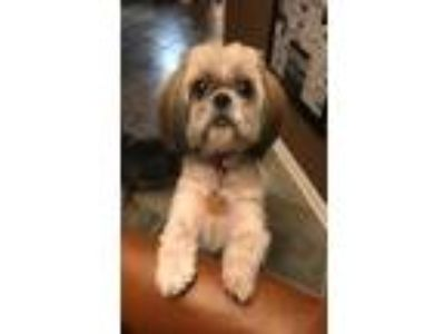 Adopt Coco a Shih Tzu, Mixed Breed