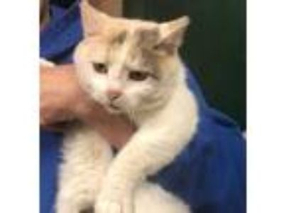 Adopt Cass a White Domestic Shorthair / Domestic Shorthair / Mixed cat in Tryon