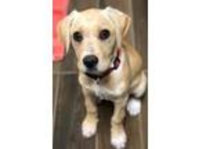 Adopt Harper a Tan/Yellow/Fawn Labrador Retriever / Mixed dog in Hilton Head
