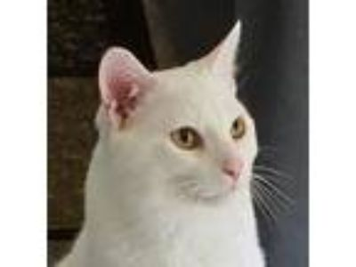 Adopt Chowder -- GREAT WITH CATS a White Domestic Shorthair / Mixed (short coat)