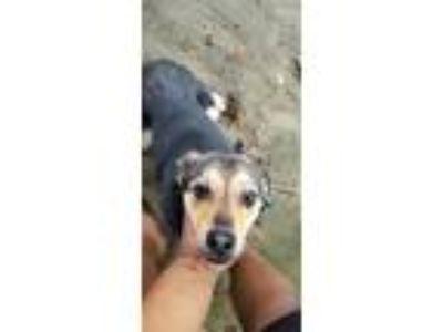 Adopt Sasha a Black - with Tan, Yellow or Fawn Shepherd (Unknown Type) / Terrier