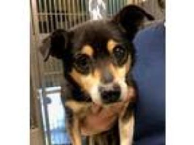 Adopt Peppy Meyer a Manchester Terrier / Mixed dog in Seattle, WA (25879133)