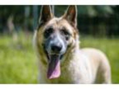Adopt Kita a Akita, German Shepherd Dog