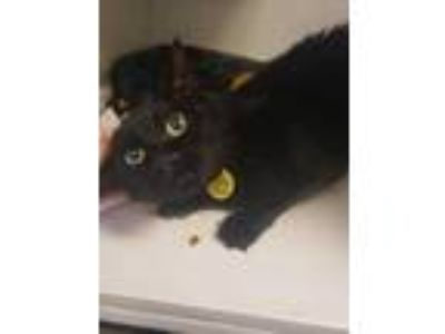 Adopt Mimi a All Black Domestic Shorthair / Domestic Shorthair / Mixed cat in