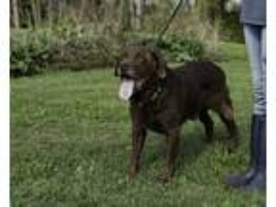 Adopt Coop a Brown/Chocolate Labrador Retriever / Mixed dog in Everett