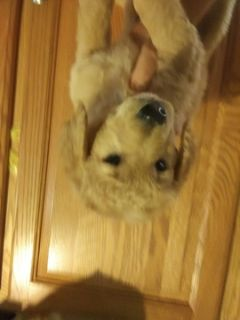 Goldendoodle (Miniature) PUPPY FOR SALE ADN-84574 - MINI GOLDENDOODLE PUPPIES toy to med size