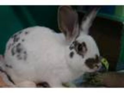 Adopt PARKER a White Other/Unknown / Mixed rabbit in Norfolk, VA (25323819)