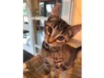 Adopt Groovy a Brown Tabby Domestic Shorthair / Domestic Shorthair / Mixed cat