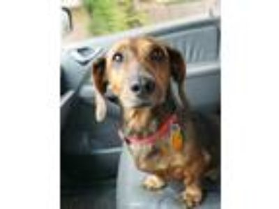 Adopt Lucky a Brown/Chocolate Dachshund / Mixed dog in Bethany, OK (25282559)