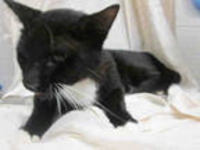 Adopt DARKWING a Black & White or Tuxedo Domestic Shorthair / Mixed (short coat)