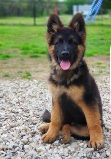 West German Showline German Shepherd pup