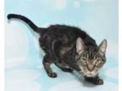Adopt TIGGER a Brown Tabby Domestic Shorthair / Mixed (short coat) cat in