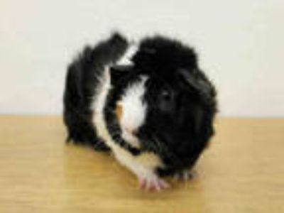 Adopt PIPPIN a Brown or Chocolate Guinea Pig / Mixed small animal in San