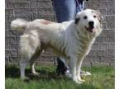 Adopt Cliford a Great Pyrenees, Shepherd