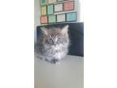 Adopt 6/5 Male Grey/White Kitten (DLH) a Domestic Long Hair