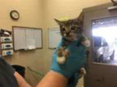 Adopt Mephisto a Domestic Shorthair / Mixed cat in Birmingham, AL (25661023)
