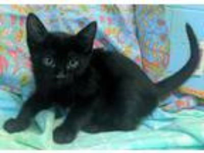 Adopt Addie 30774 a All Black Domestic Shorthair / Mixed (short coat) cat in