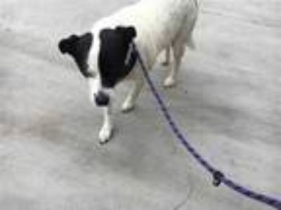 Adopt a White - with Black Australian Cattle Dog / Mixed dog in Modesto