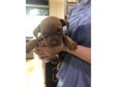 Adopt Groot a Brown/Chocolate American Pit Bull Terrier / Mixed dog in Cedar