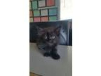 Adopt 6/5 Female Black Kitten a Domestic Long Hair