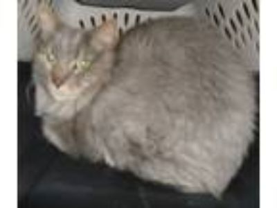 Adopt Gandalf a Maine Coon / Mixed cat in Raleigh, NC (25193328)