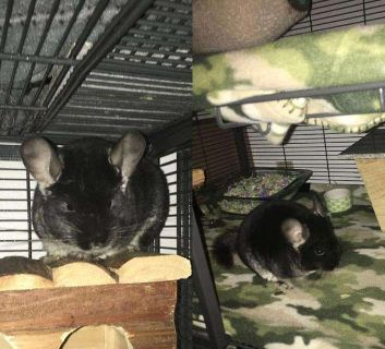 3 male chinchillas for sale an Cage For Sale