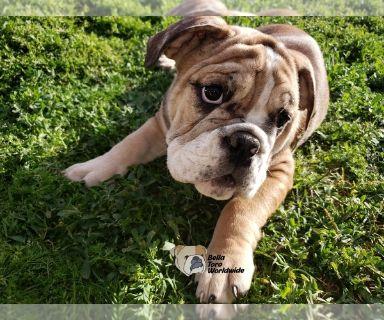 English Bulldog PUPPY FOR SALE ADN-128157 - English Bulldog Female