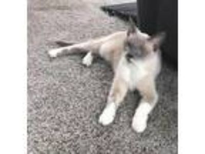 Adopt Bali a Siamese / Mixed cat in Wyandotte, MI (25372098)