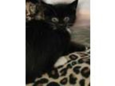 Adopt Moon Pie a All Black Domestic Shorthair / Domestic Shorthair / Mixed cat