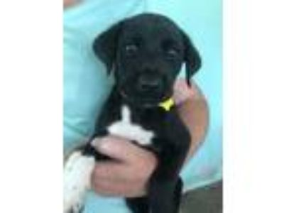 Adopt Hillary a Black Retriever (Unknown Type) / Mixed dog in Fairfax Station