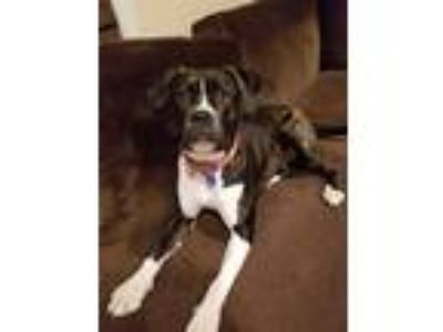 Adopt Lilly a Black - with White Boxer / Mixed dog in Hawthorne, CA (24098092)