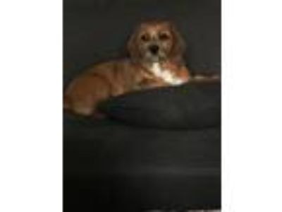 Adopt Maxi a Brown/Chocolate - with White Beagle / Lhasa Apso / Mixed dog in