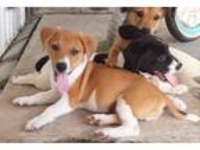 Adopt Arnie a Brown/Chocolate - with White Spaniel (Unknown Type) / Jack Russell
