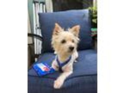 Adopt Noah (Coming Soon!) a West Highland White Terrier / Westie
