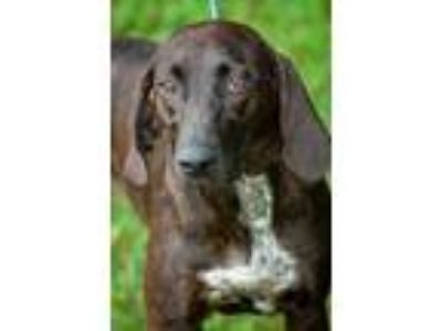 Adopt Lisa a Plott Hound