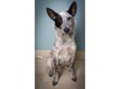 Adopt Bullet a Cattle Dog