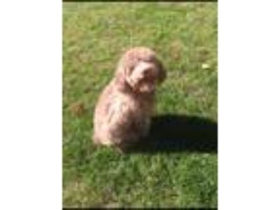 Adopt COFFEE a Brown/Chocolate Poodle (Standard) / Mixed dog in Chicago