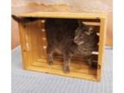 Adopt EMBER a Gray or Blue Domestic Shorthair / Domestic Shorthair / Mixed cat