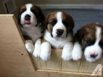 hheneb Male and female Saint Bernard Puppies