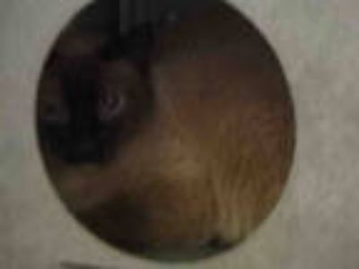 Adopt SAMANTHA a Brown or Chocolate (Mostly) Siamese / Mixed (short coat) cat in