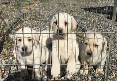 AKC Yellow Lab Pups