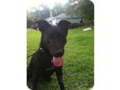 Adopt Betsy a Black Labrador Retriever / German Shepherd Dog / Mixed dog in