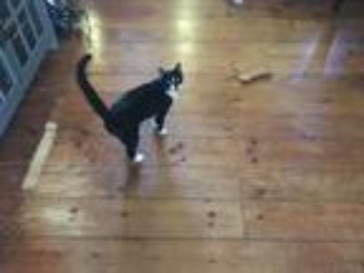 Adopt Alexander a Black & White or Tuxedo Domestic Shorthair / Mixed cat in