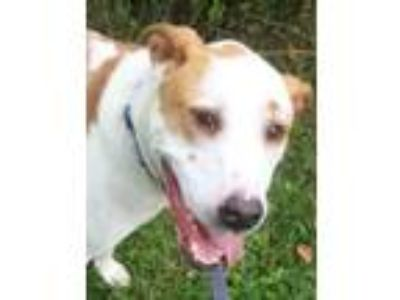 Adopt Roscoe a Pit Bull Terrier