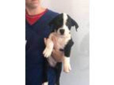 Adopt Stumpy F1 a Black - with White Border Collie / Australian Cattle Dog /
