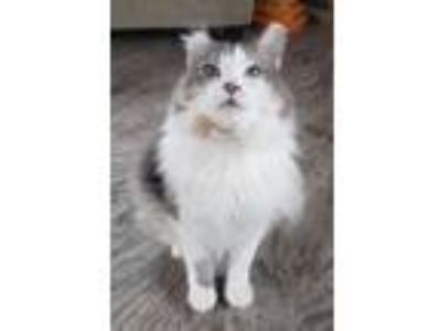 Adopt Helen a Maine Coon cat in Westmont, IL (25920990)