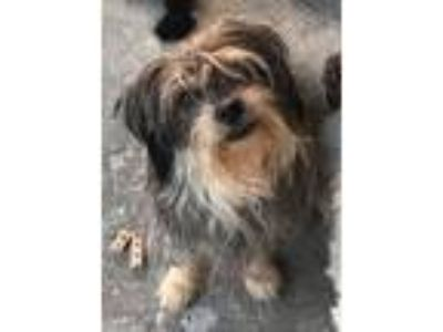 Adopt Ginger a Yorkshire Terrier