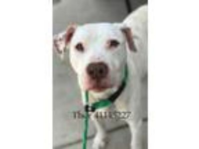 Adopt Thor a White American Pit Bull Terrier / Mixed dog in Fort Worth