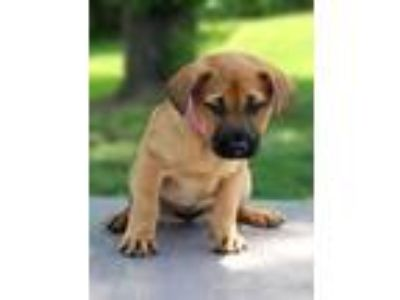 Adopt Rebecca a Tan/Yellow/Fawn - with Black Shepherd (Unknown Type) / Mixed dog